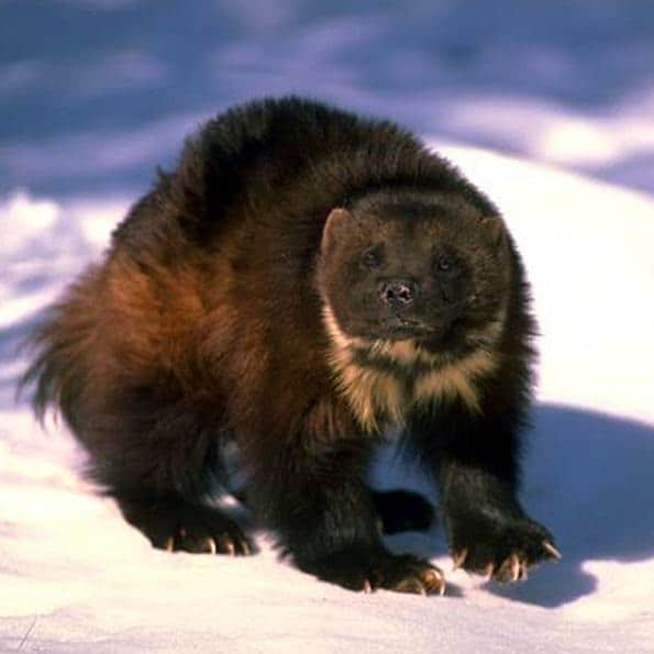 The Wolverine is the Michigan State animal. This animal is not known for size, but amazing ferocity. If you anger one, it will track you down.  Clicking on this magnificent beast will take you from the Michigan Dispensaries home page, midispensaries.com to the National Wildlife Federation, NWF.org